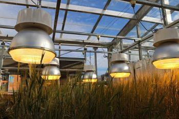ledswheat